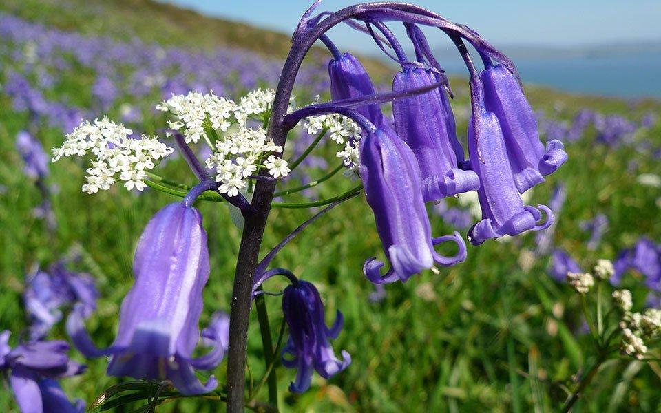Bluebells on An Airigh croft, Isle of Skye