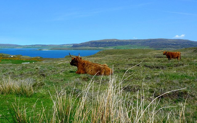 Highland Cows Loch Dunvegan, Coral Beach, Isle of Skye